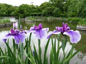Found on http://ichinen-fourseasonsinjapan.blogspot.com/2011/06/hanashobujapanese-water-iris.html
