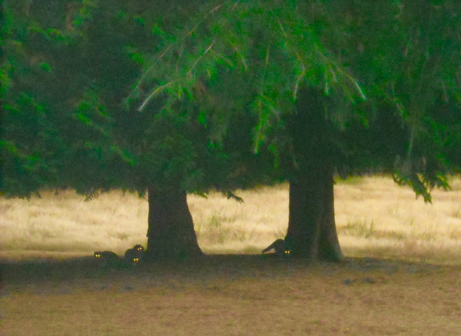 under the cedar